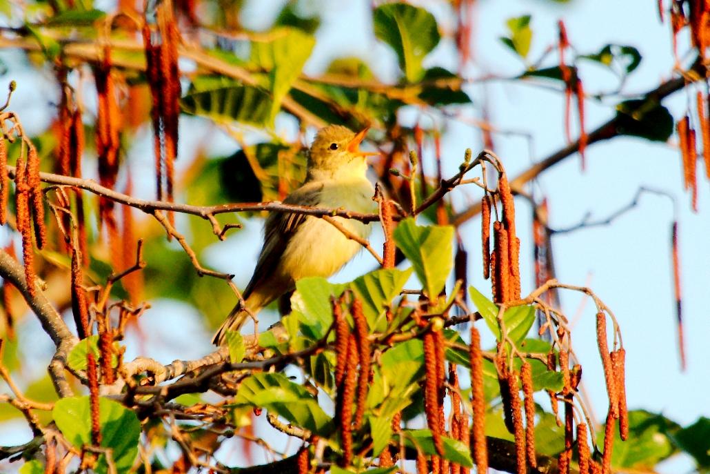 Gelbspötter singend