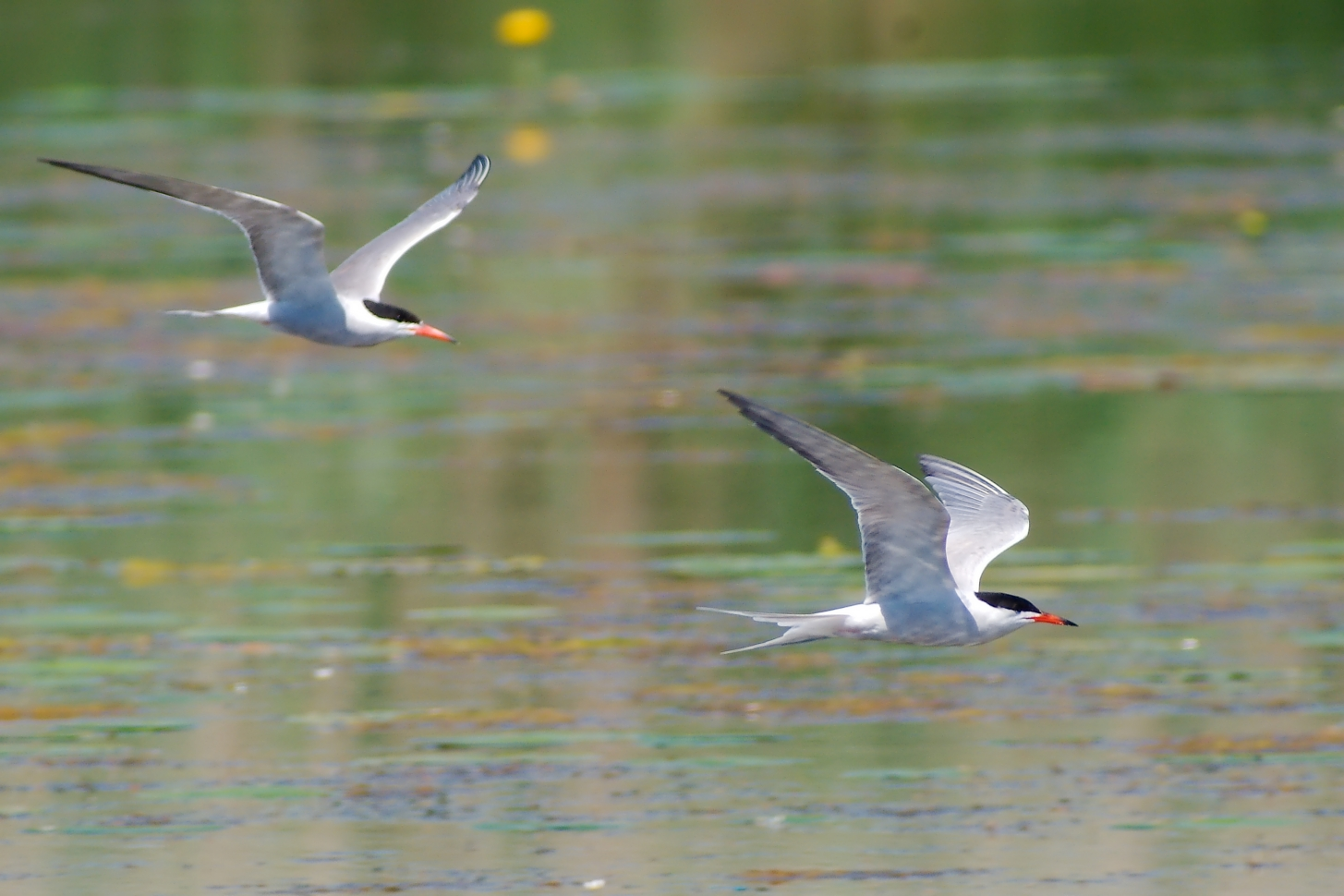 Fluss-Seeschwalbe, Formationsflug