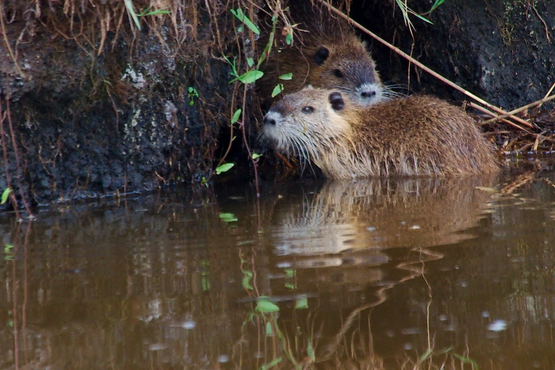 Nutria Mutter mit Kind