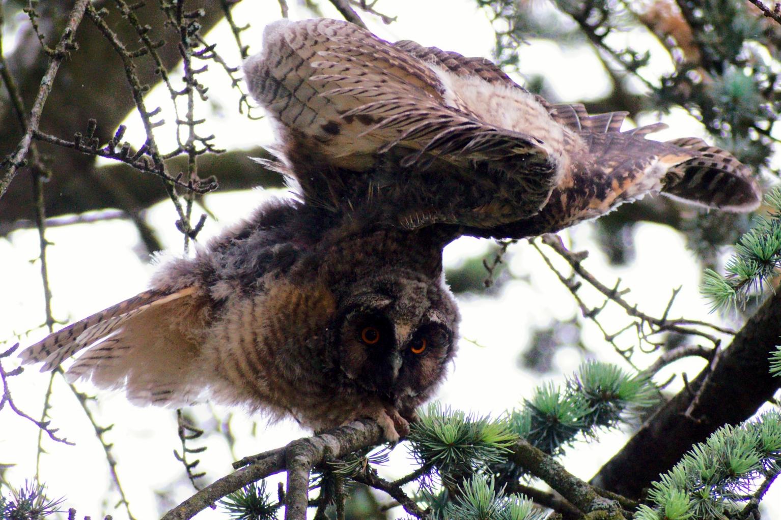 Waldohreule streckt die Flügel